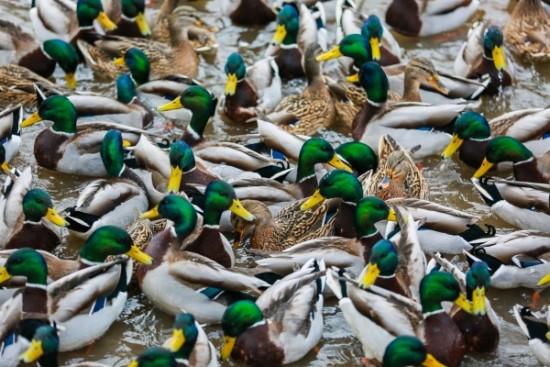 """""""Утиная перепись"""": на водоемах ЮЗАО посчитают зимующих птиц"""