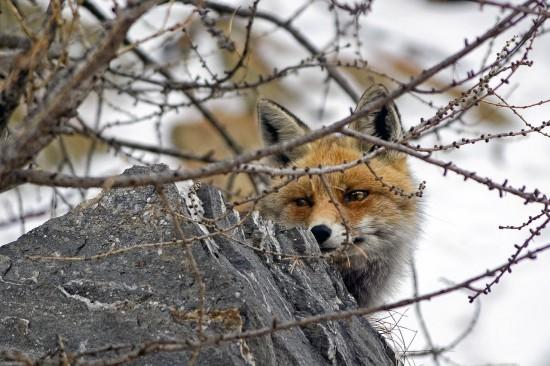 Жители ЮЗАО  стали чаще видеть лисиц