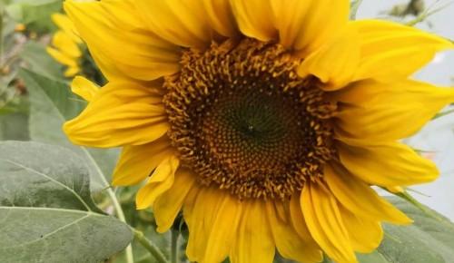 Самые солнечные цветы украсили придомовую территорию на улице Гримау
