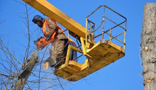 Вырубка аварийных деревьев регулярно проходит в Ломоносовском районе