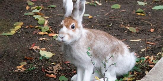 Экоцентр «Битцевский лес» назвал зайца хозяином леса в 2021 году