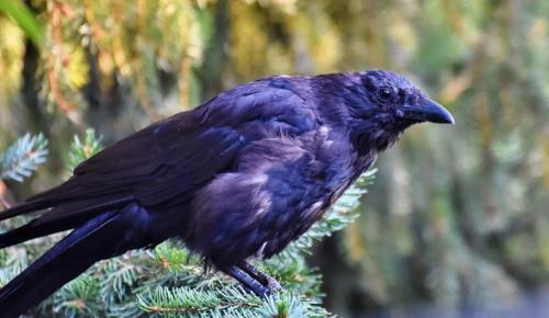 Вороны в Битцевском лесу начали высиживать птенцов