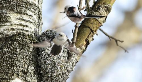 Краснокнижные длиннохвостые синицы выбрали для гнездования природные территории ЮЗАО
