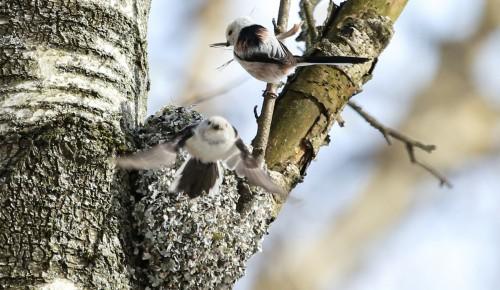 В Битцевском лесу начали вить гнезда длиннохвостые синицы