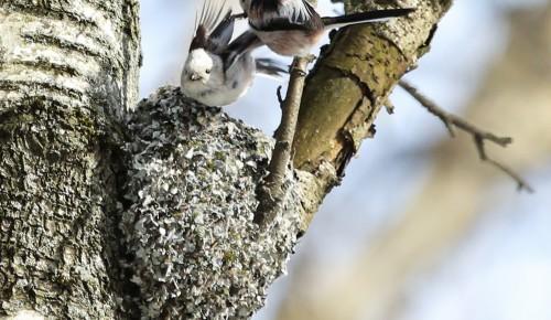 Весна пришла: в зоне отдыха «Тропарево» начали вить гнезда длиннохвостые синицы