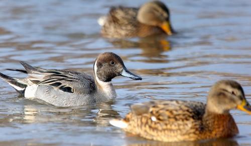 Экологи просят не кормить уток в Теплостанском пруду