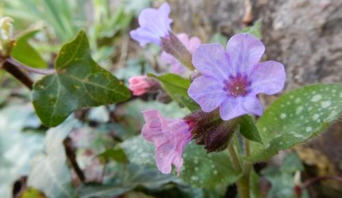 В Битцевском лесу распустились первоцветы - чистяк весенний и медуница неясная