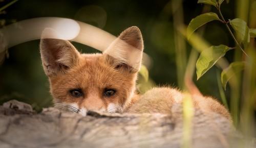 В Битцевском лесу столичные ветеринары начали вакцинацию лис и енотовидных собак от бешенства