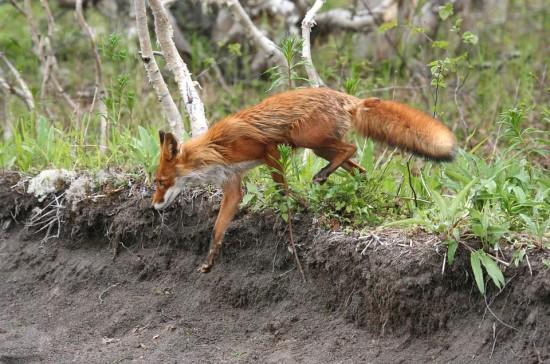 В Битцевском лесу и парке «Северное Бутово» началась вакцинация лис и енотовидных собак от бешенства