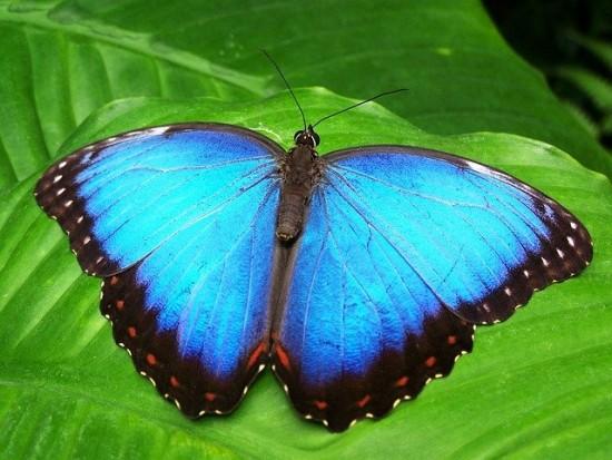 В заповедном луге Академического района встретили бабочку Морфо из Южной Америки