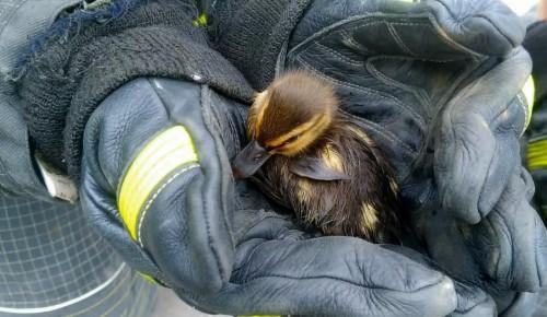 Московские спасатели вызволили утенка из коллектора в Южном Бутово