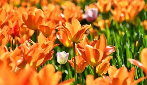 В этом году Москву украсят 54 миллиона цветов – Собянин