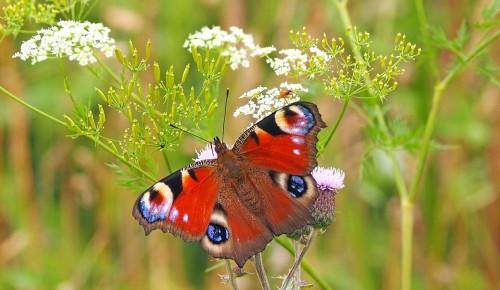 Жители Ясенева могут принять участие в онлайн-викторине про бабочек