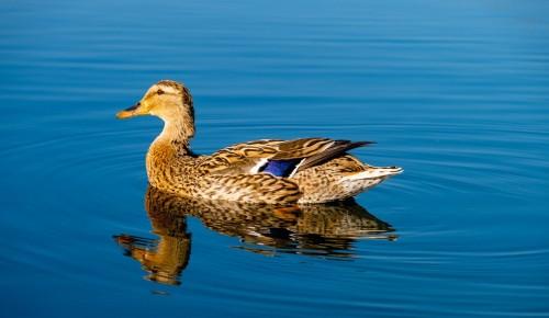 Мосприрода предлагает жителям Ясенева проверить свои знания в области водоплавающих птиц