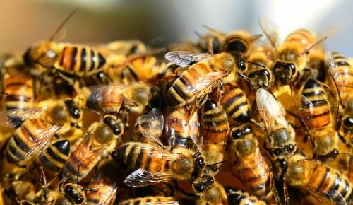 Мосприрода опубликовала видеоподкаст о том, как пчелы сосуществуют в семьях