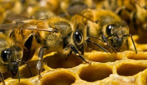 Мосприрода опубликовала видеоподкаст о пчелиной семье