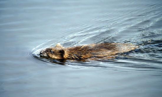 В прудах Северного Бутова можно встретить ондатру
