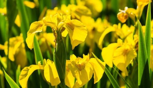 Мосприрода опубликовала видеоролик о краснокнижном ирисе жёлтом