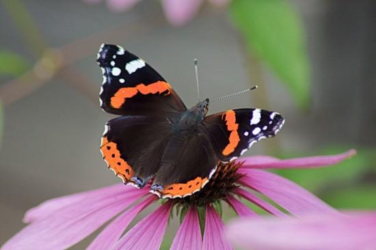 """Дирекция """"Тропарево"""" и """"Теплый Стан"""" рассказала о бабочках, обитающих на территории России"""