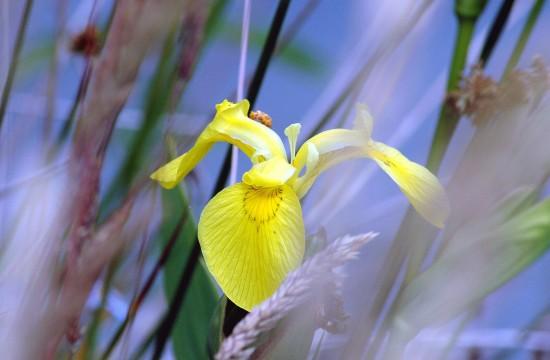 Жителям Северного Бутова предлагается посмотреть новый выпуск видеоподкаста «Ирис жёлтый»