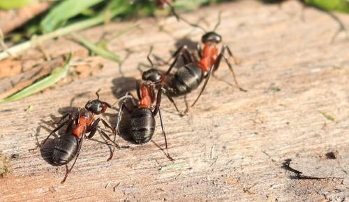 Специалисты Мосприроды рассказали об обитающих в Москве рыжих лесных муравьях, внесенных в Красную книгу