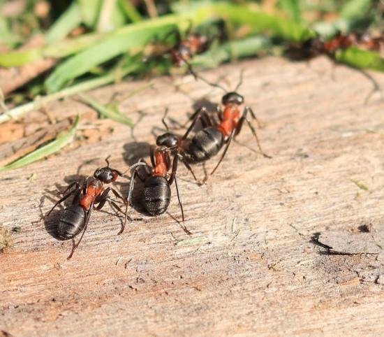 Мосприрода рассказала о рыжих лесных муравьях, внесенных в Красную книгу Москвы