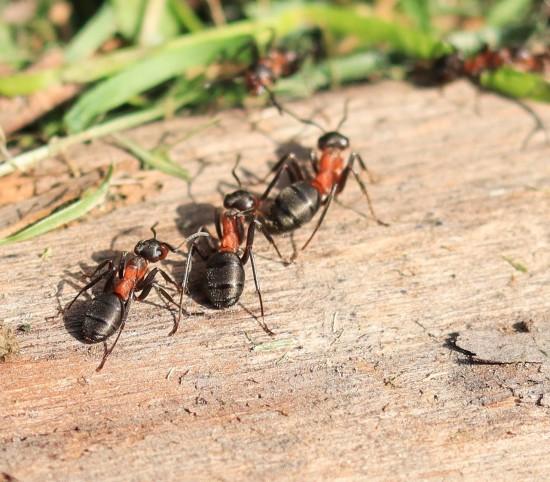 «Мосприрода» рассказала о рыжих муравьях, внесённых в Красную книгу