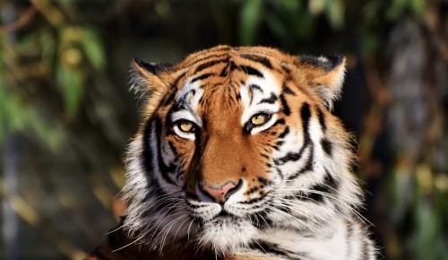 Экоцентр «Битцевский лес» Ясенева предлагает пройти викторину о тиграх
