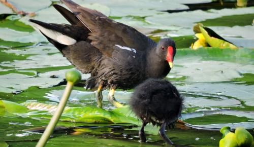 """В парке """"Битцевский лес"""" краснокнижные птицы дали потомство"""