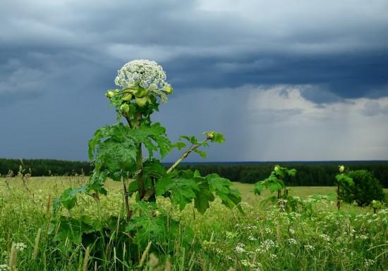 Жители Ясенева могут сообщить Мосприроде о вредных растениях на природных территориях Москвы