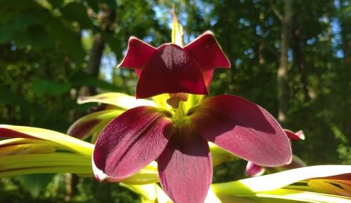 """В ботаническом саду учреждения """"Воробьевы горы"""" зацвела редкая лилия"""