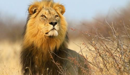 """Экоцентр """"Битцевский лес"""" опубликовал онлайн-викторину, посвященную львам"""
