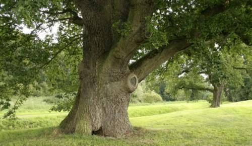 """""""Мосприрода"""" рассказала о дубах, растущих в Терлецком лесопарке"""
