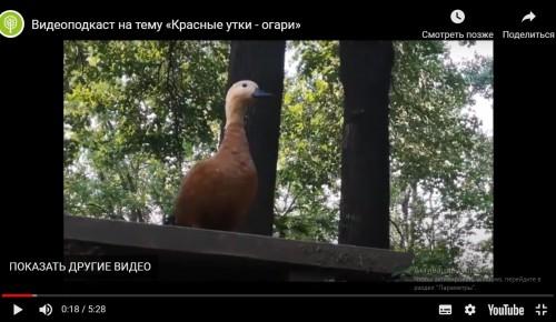 Жители Зюзина могут посмотреть видеоподкаст Мосприроды на тему «Красные утки - огари»