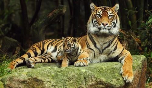 25 сентября библиотека №190 проведет мастер-класс, приуроченный ко Дню тигра