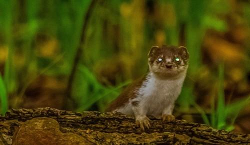 В объективе – ласка. Фотоохотник рассказывает, кого можно увидеть в Битцевском лесу